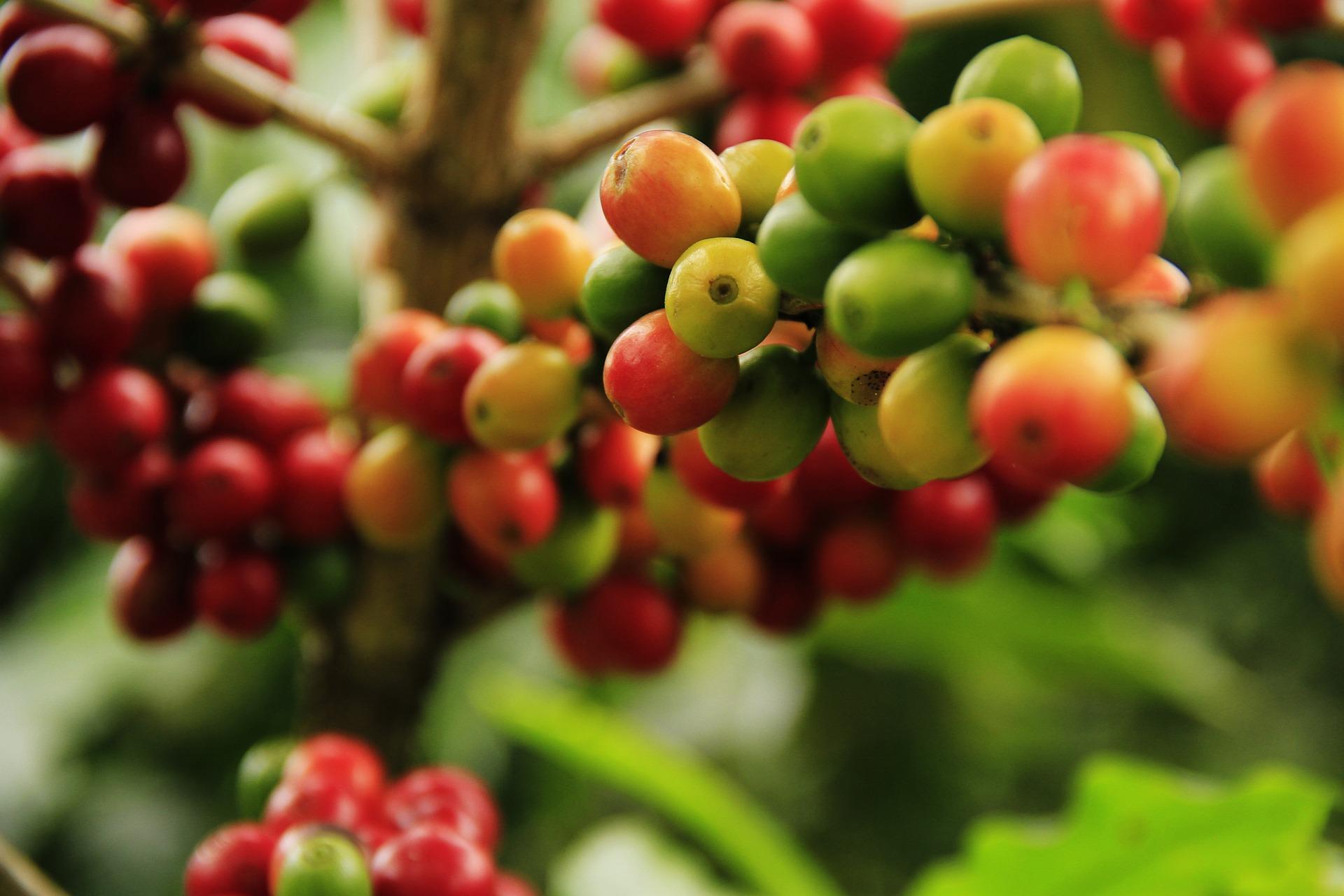 coffee-grains-1474601_1920